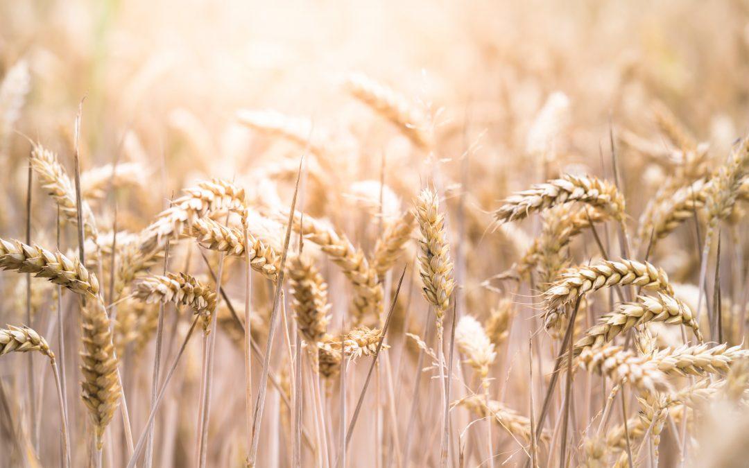 Отразяват ли се зле на менструацията пшеницата и глутенът?